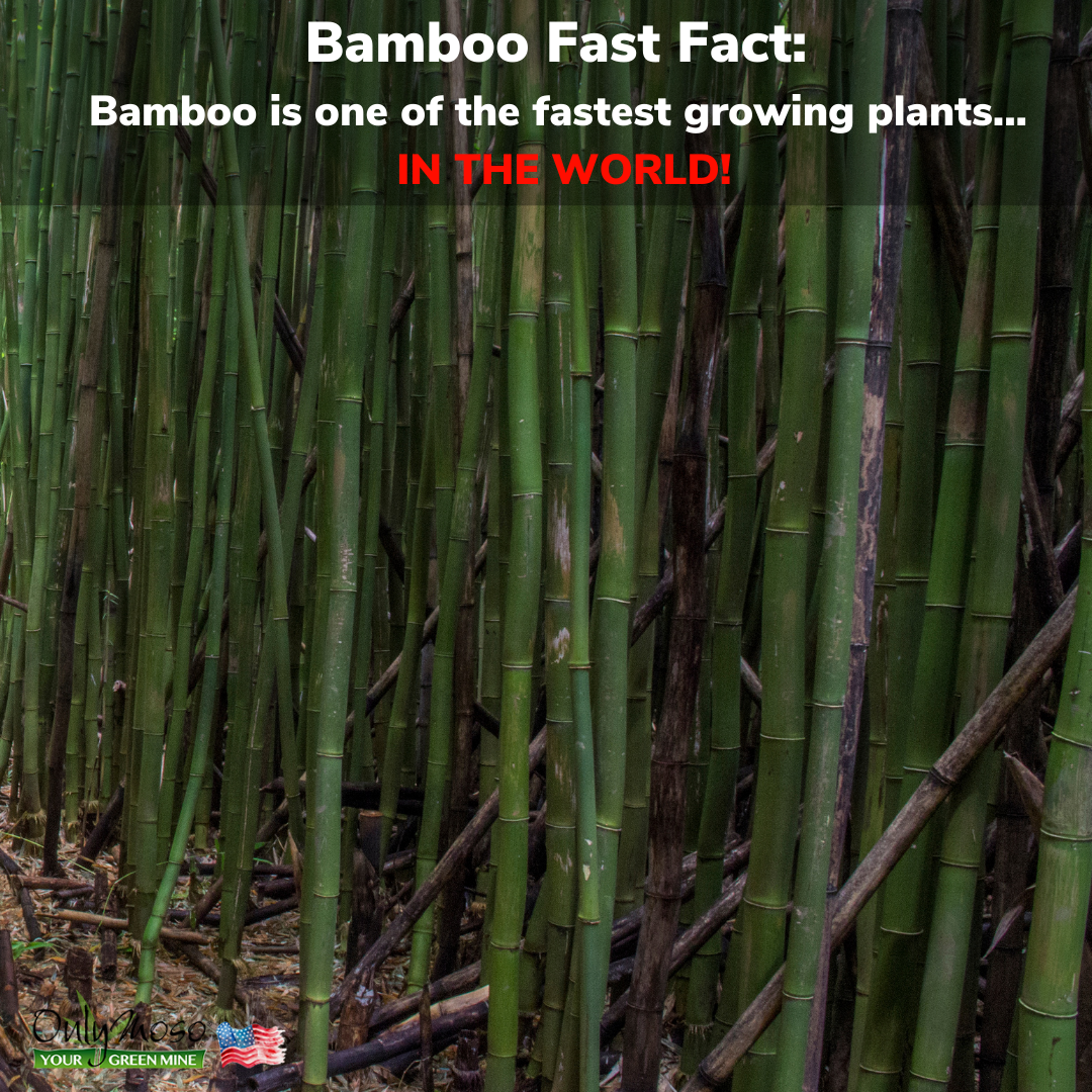 Commercial Bamboo Farming